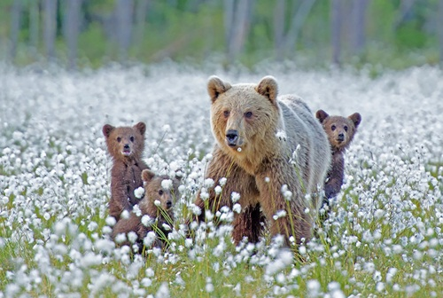 Học hỏi được gì từ cách dạy con của loài gấu - 3
