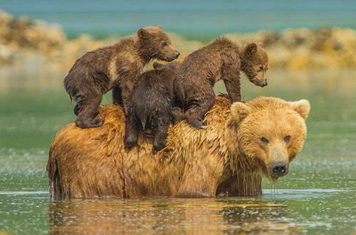 Học hỏi được gì từ cách dạy con của loài gấu - 5