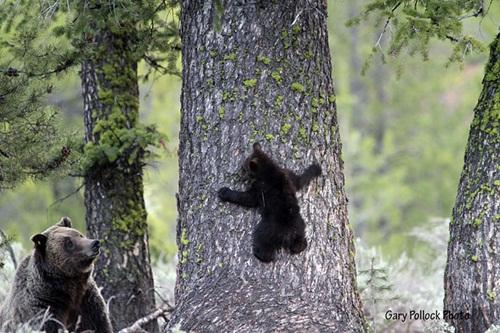 Học hỏi được gì từ cách dạy con của loài gấu - 6