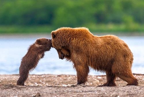 Học hỏi được gì từ cách dạy con của loài gấu - 9