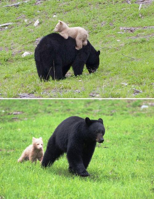 Học hỏi được gì từ cách dạy con của loài gấu - 11