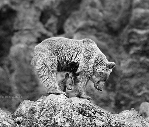 Học hỏi được gì từ cách dạy con của loài gấu - 12