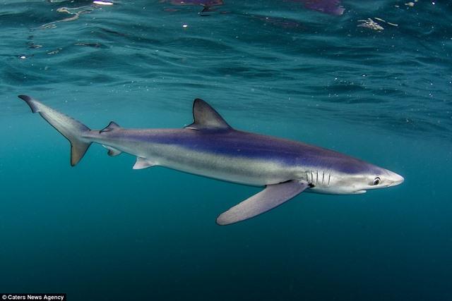 Chụp được cá mập xanh cực hiếm ngoài khơi nước Anh - 3