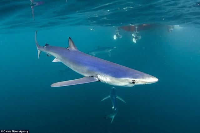 Chụp được cá mập xanh cực hiếm ngoài khơi nước Anh - 4