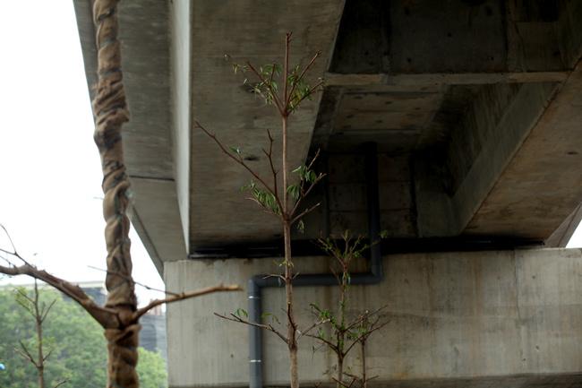 Vì sao Hà Nội trồng cây xanh dưới gầm đường sắt? - 5