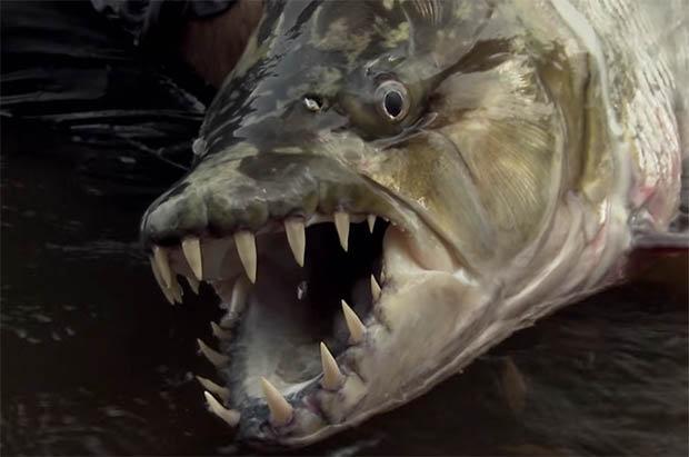 Bắt cá hổ khổng lồ ăn thịt được cá sấu ở Congo - 1