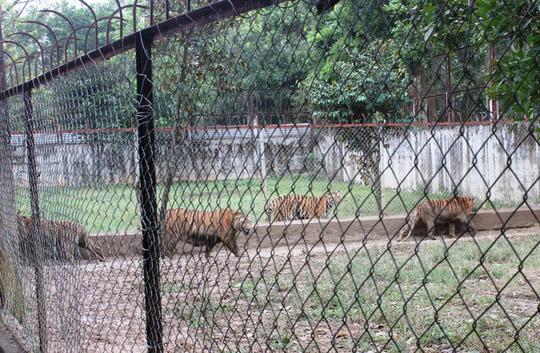 Nuôi nhốt 11 con hổ hoang dã giữa khu dân cư - 1