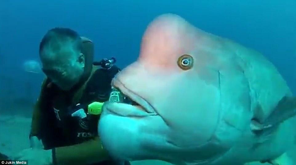 Nhật Bản: Cá khổng lồ 25 năm cho ân nhân ôm ấp, vuốt ve - 3