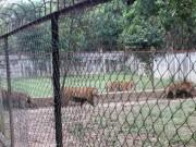 Tin tức trong ngày - Nuôi nhốt 11 con hổ hoang dã giữa khu dân cư