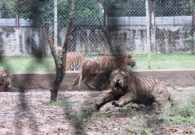 Cận cảnh đàn hổ dữ nuôi nhốt trái phép ở Thanh Hóa - 1