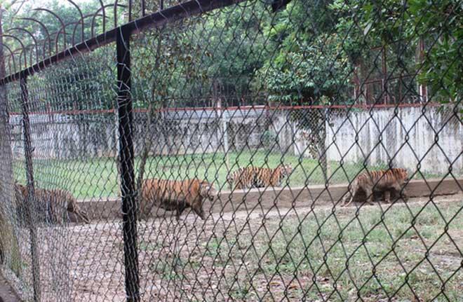 Cận cảnh đàn hổ dữ nuôi nhốt trái phép ở Thanh Hóa - 2