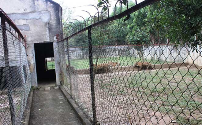 Cận cảnh đàn hổ dữ nuôi nhốt trái phép ở Thanh Hóa - 3