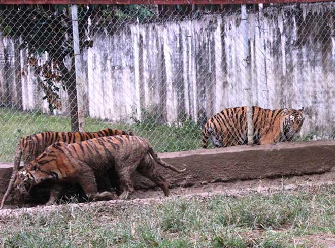 Cận cảnh đàn hổ dữ nuôi nhốt trái phép ở Thanh Hóa - 4