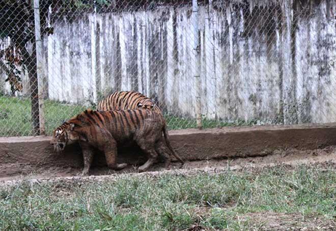 Cận cảnh đàn hổ dữ nuôi nhốt trái phép ở Thanh Hóa - 5