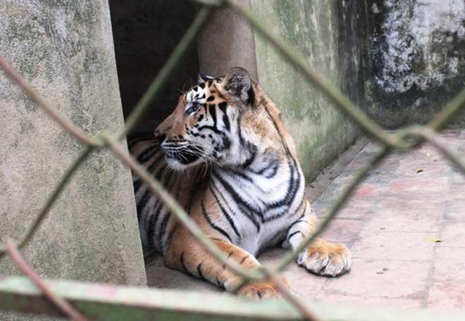 Cận cảnh đàn hổ dữ nuôi nhốt trái phép ở Thanh Hóa - 6