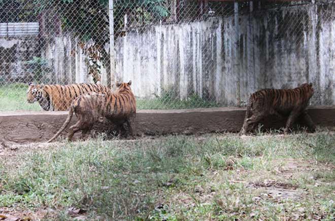 Cận cảnh đàn hổ dữ nuôi nhốt trái phép ở Thanh Hóa - 7