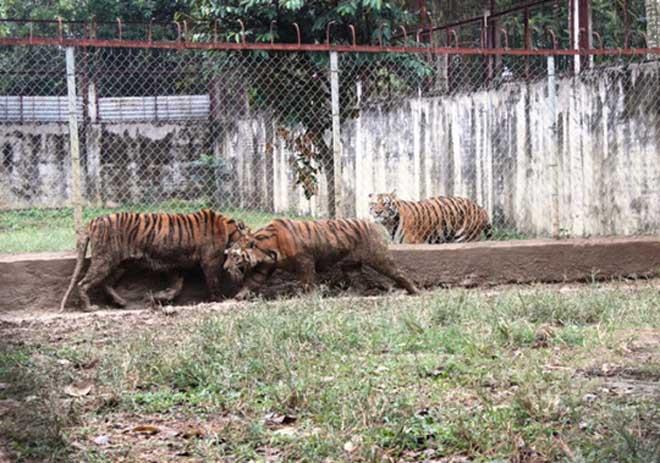 Cận cảnh đàn hổ dữ nuôi nhốt trái phép ở Thanh Hóa - 8