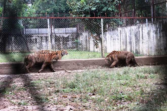 Cận cảnh đàn hổ dữ nuôi nhốt trái phép ở Thanh Hóa - 9