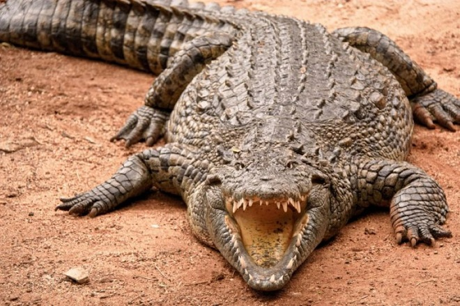 Con cá sấu giết, ăn thịt 300 người, khiếp sợ nhất thế giới - 1