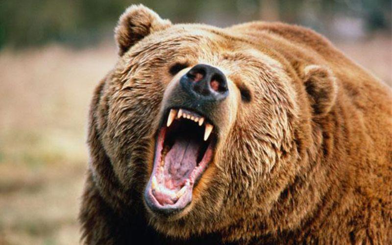"""Gấu """"tử thần"""" cao 2,7m ăn thịt người gây kinh hoàng ở Nhật - 1"""