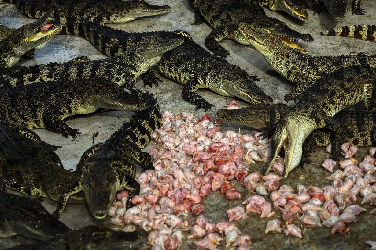 Cảnh nhung nhúc trong trang trại cá sấu lớn nhất Thái Lan - 2