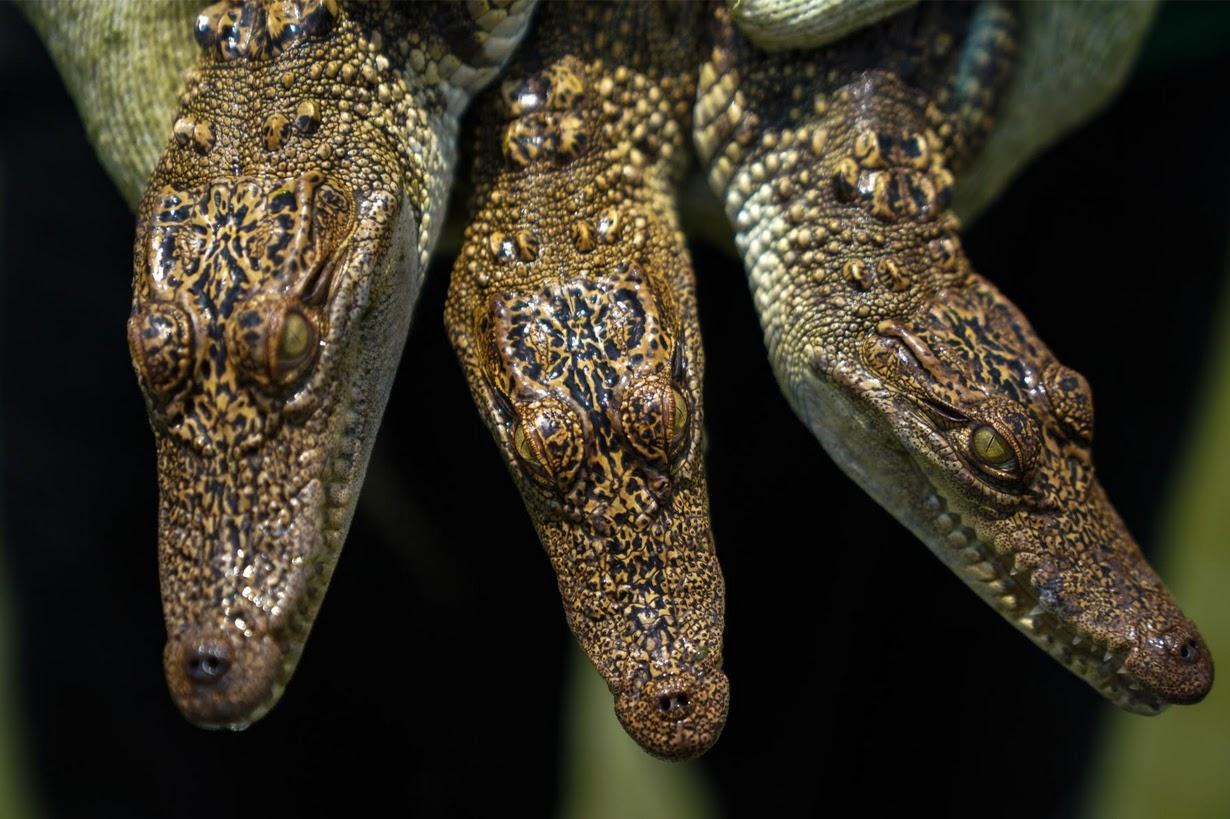 Cảnh nhung nhúc trong trang trại cá sấu lớn nhất Thái Lan - 6