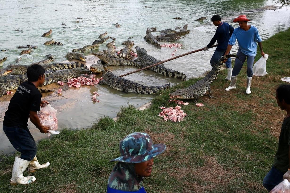 Cảnh nhung nhúc trong trang trại cá sấu lớn nhất Thái Lan - 4