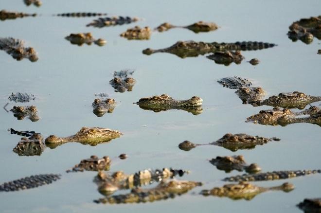 Cảnh nhung nhúc trong trang trại cá sấu lớn nhất Thái Lan - 3