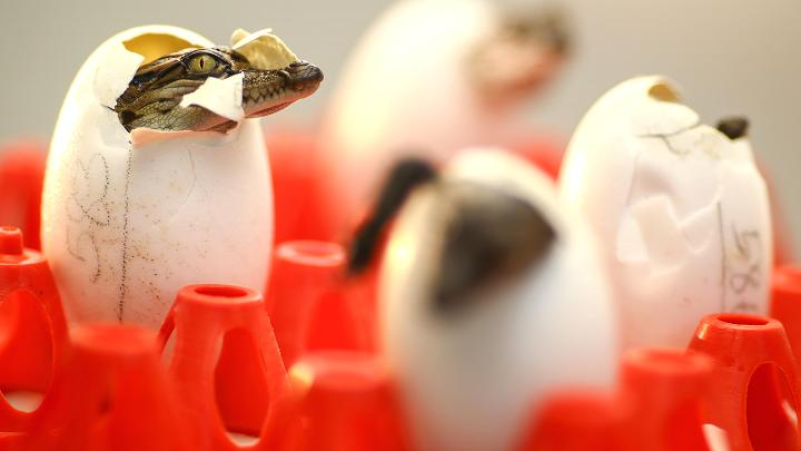 Choáng với ngành công nghiệp nuôi cá sấu ở Thái Lan - 6