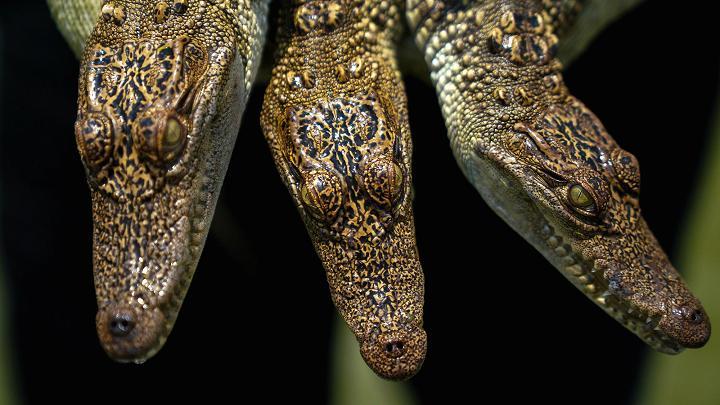 Choáng với ngành công nghiệp nuôi cá sấu ở Thái Lan - 7