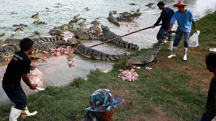 Choáng với ngành công nghiệp nuôi cá sấu ở Thái Lan - 3