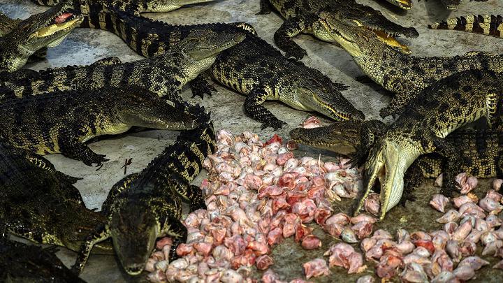 Choáng với ngành công nghiệp nuôi cá sấu ở Thái Lan - 2