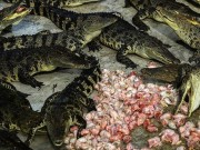Tài chính - Bất động sản - Choáng với ngành công nghiệp nuôi cá sấu ở Thái Lan