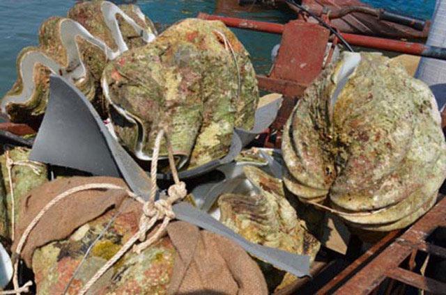 Quảng Ngãi: 50 triệu đồng/con sò tai tượng, người dân lén khai thác - 1