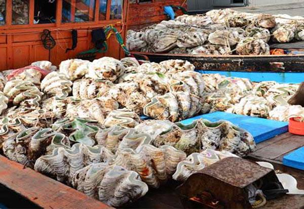 Quảng Ngãi: 50 triệu đồng/con sò tai tượng, người dân lén khai thác - 2