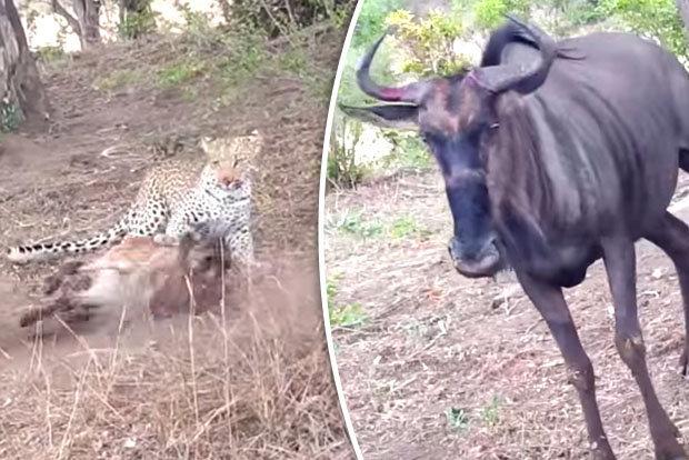 Video: Báo đốm giết bê, bị bò mẹ đuổi chạy tít lên cây - 1