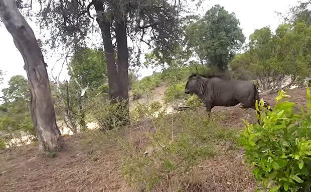 Video: Báo đốm giết bê, bị bò mẹ đuổi chạy tít lên cây - 2