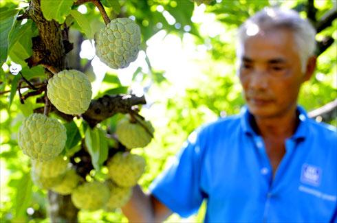 Sửng sốt cây ra quả chi chít ở thân: Lạ mà quen, quen mà lạ - 1