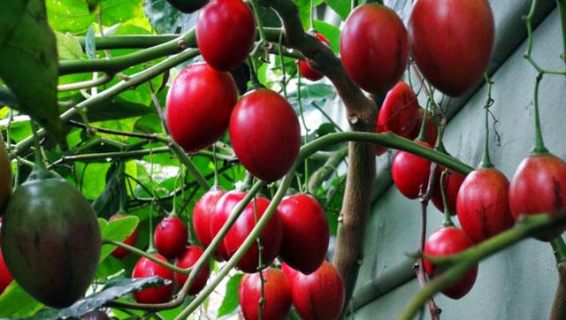 Sửng sốt cây ra quả chi chít ở thân: Lạ mà quen, quen mà lạ - 11
