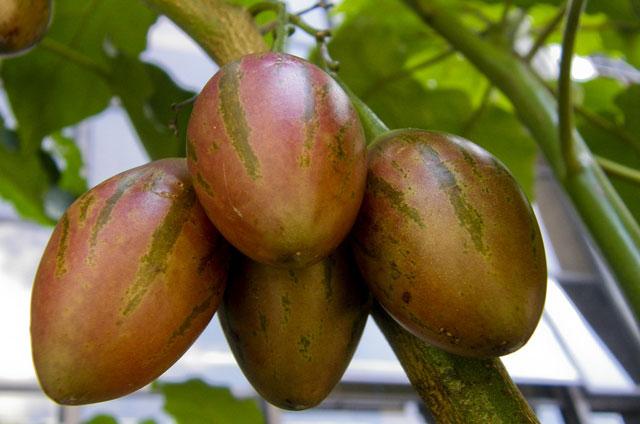Sửng sốt cây ra quả chi chít ở thân: Lạ mà quen, quen mà lạ - 13