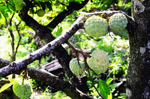 Sửng sốt cây ra quả chi chít ở thân: Lạ mà quen, quen mà lạ - 2