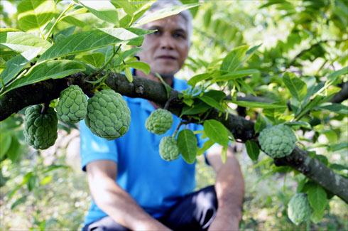 Sửng sốt cây ra quả chi chít ở thân: Lạ mà quen, quen mà lạ - 3