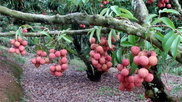 Sửng sốt cây ra quả chi chít ở thân: Lạ mà quen, quen mà lạ - 4