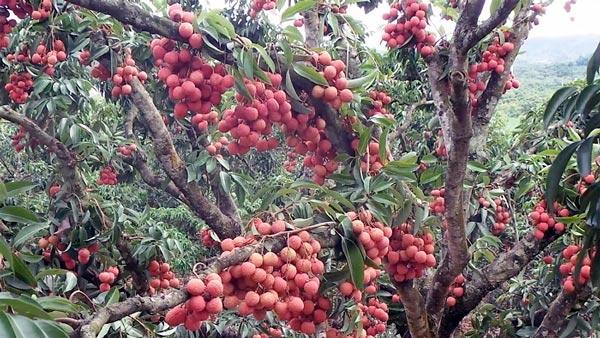Sửng sốt cây ra quả chi chít ở thân: Lạ mà quen, quen mà lạ - 7
