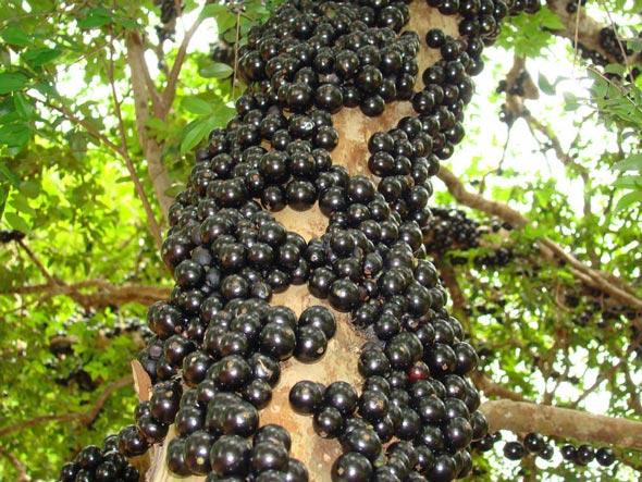 Sửng sốt cây ra quả chi chít ở thân: Lạ mà quen, quen mà lạ - 10