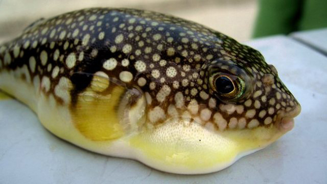 Tránh xa những loại hải sản có lượng độc tố cao gây chết người này - 1