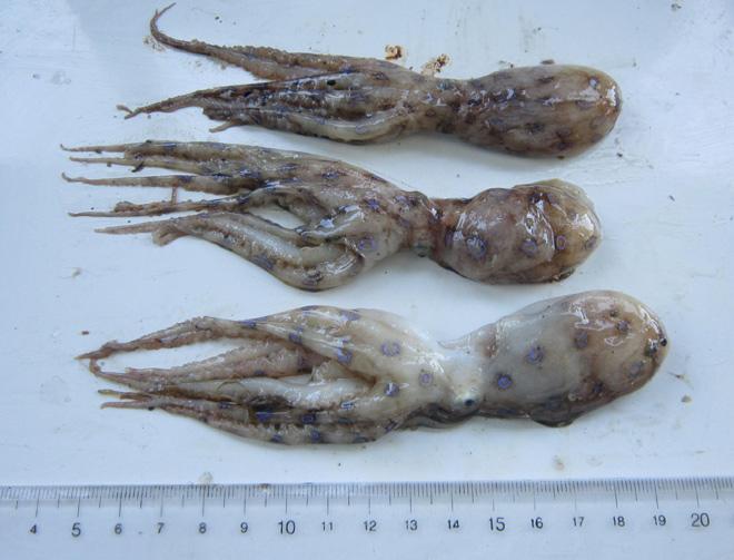 Tránh xa những loại hải sản có lượng độc tố cao gây chết người này - 5