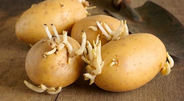 Tại sao dễ chọn nhầm khoai tây độc trong siêu thị? - 1
