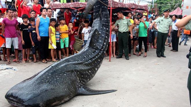Cá mập voi 450kg dạt bờ, được xe cẩu đưa về bảo tàng TQ - 1
