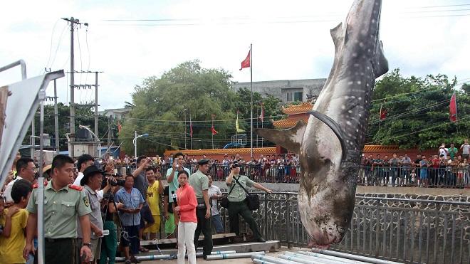 Cá mập voi 450kg dạt bờ, được xe cẩu đưa về bảo tàng TQ - 5